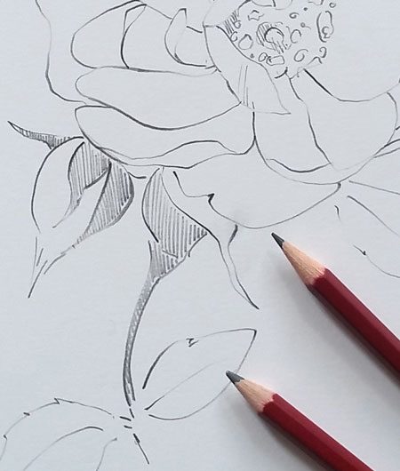 Graphite Pencil Drawing on Botanical Ultra Smooth